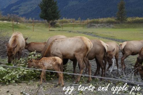 Alaska AWCC - Caribou